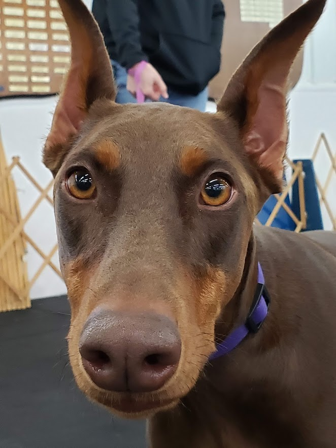 Doberman in a dog training class