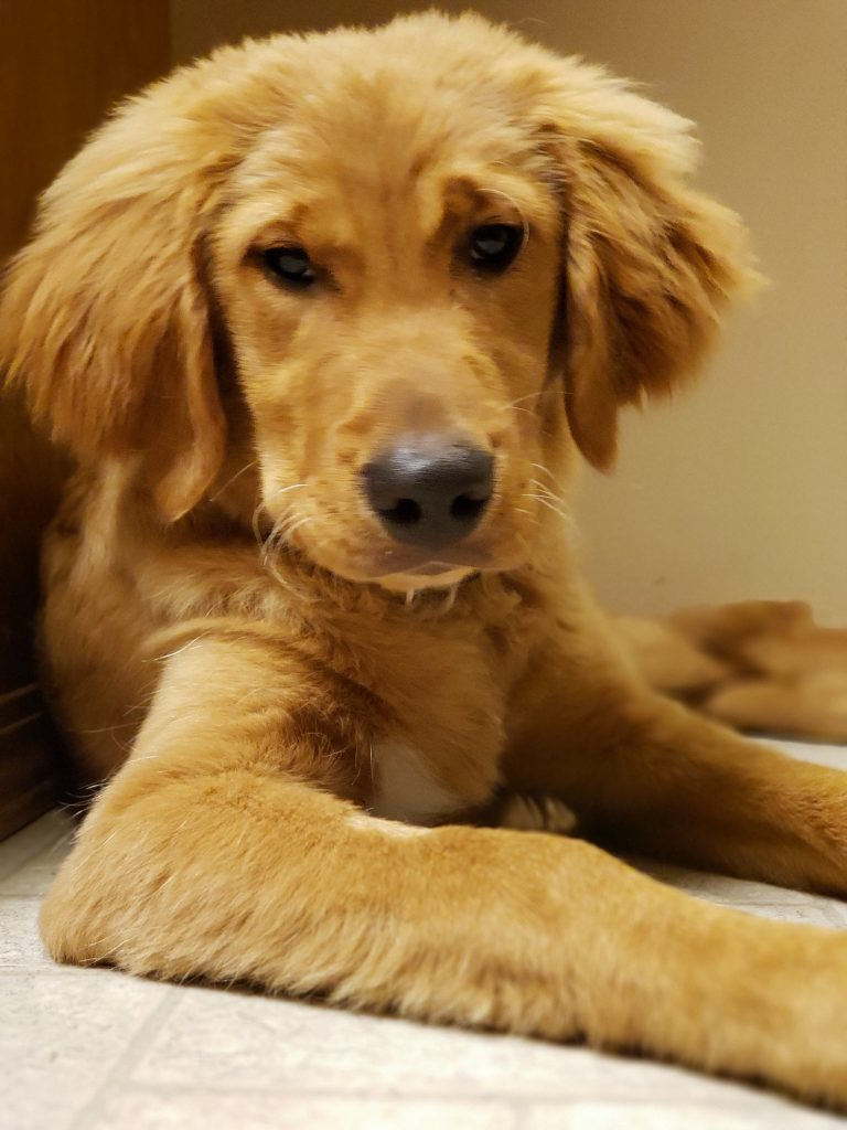 Golden Retriver Puppy