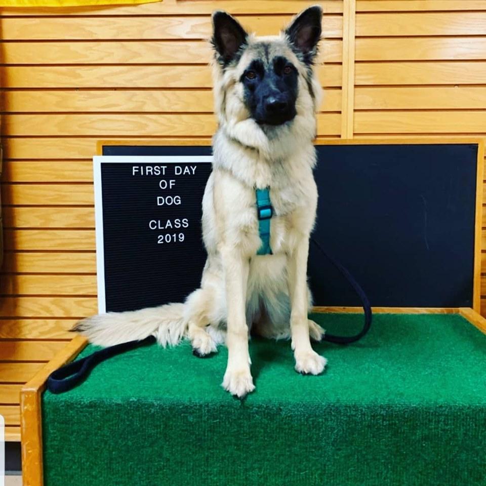 German Shepherd Dog at class - Sioux Falls Dog Training
