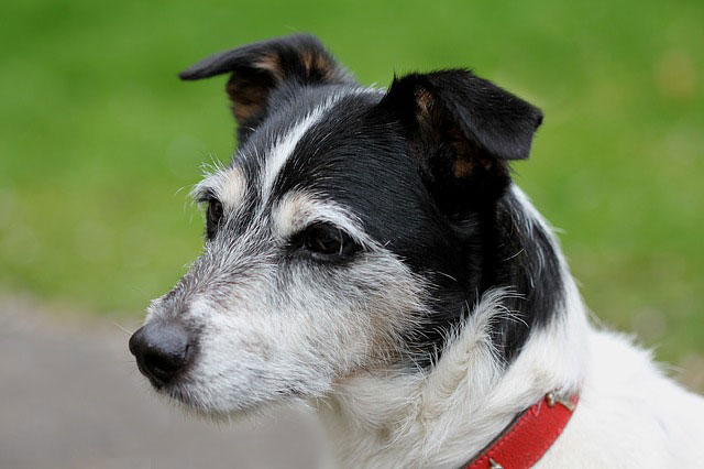 Jack- Russell Terrier - Sioux Falls Dog Training