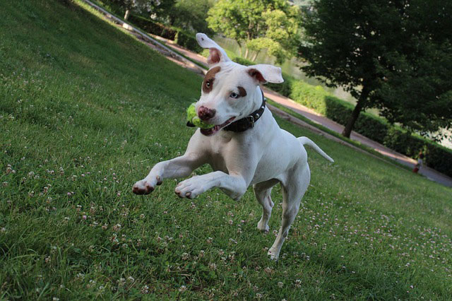 Pit Bull X Puppy playing - Sioux Falls Dog Training