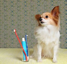 Small dog next to a toothbrush