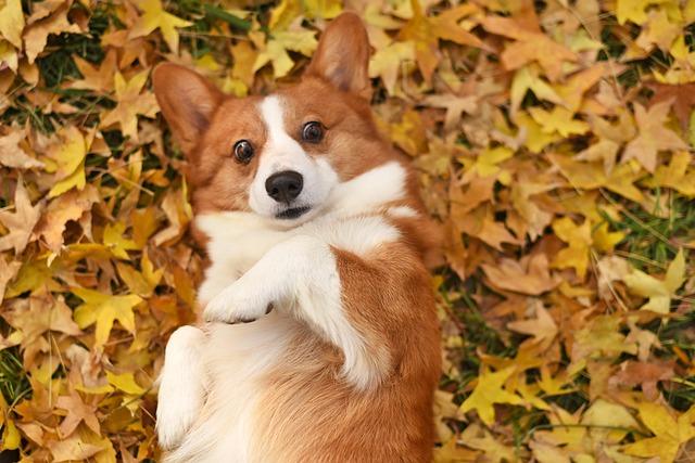 corgi dog lying on a pile of leaves
