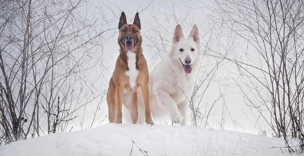 two large dogs standing in a snowdrift