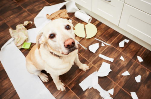 A dog with Separation Anxiety, panicked and destroyed things.