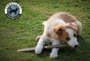Puppy Chewing on a stick.