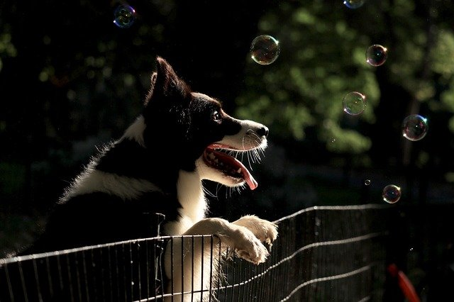 border collie chasing bubbles