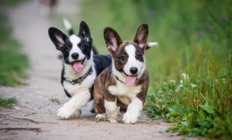 Corgi Puppies running