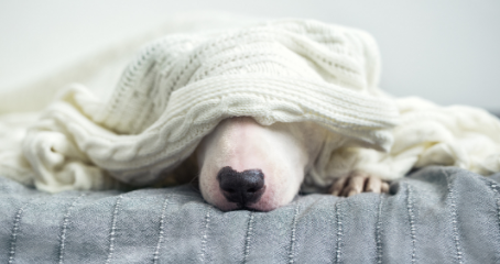 White dog, under covers.