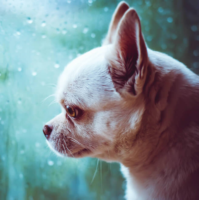 sad chihuahua looking out window