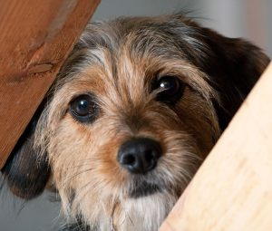 sad looking small terrier looking through wooden slats