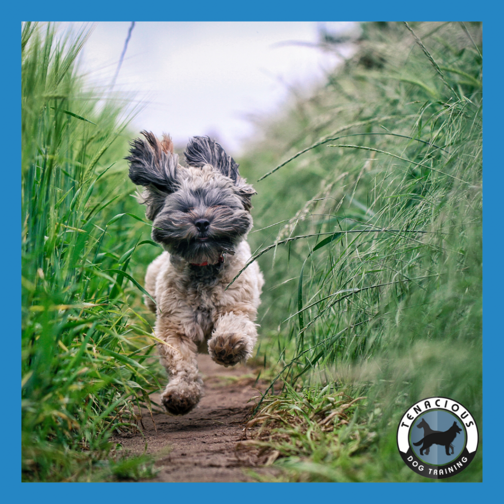 Small dog running down a path. Has the tenacious dog training logo in lower right corner.